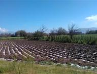 Daña granizada  50 por ciento de cultivos  de maiz y hortalizas  en  comunidades de Tepeaca