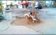 Alarmante cantidad de perros callejeros en mercados, calles y zocalo de Tepeaca